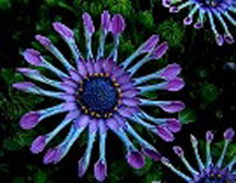 African Daisy - Click Image to Close